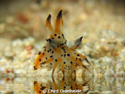 Nudibranch at the Watering Hole. by Chad Ordelheide
